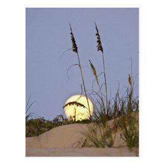 Sea Oats Uniola paniculata) growing on sand Postcard