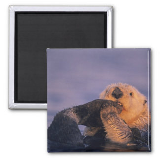 Sea Otter, Enhydra lutris 2 Inch Square Magnet