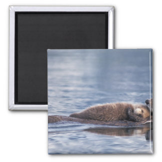 sea otter, Enhydra lutris lutris, mother with 2 2 Inch Square Magnet