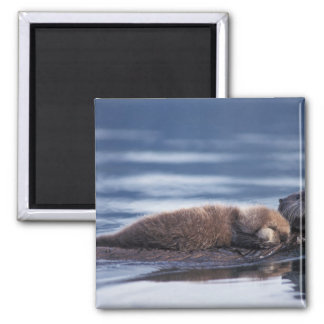 sea otter, Enhydra lutris lutris, mother with 2 Inch Square Magnet
