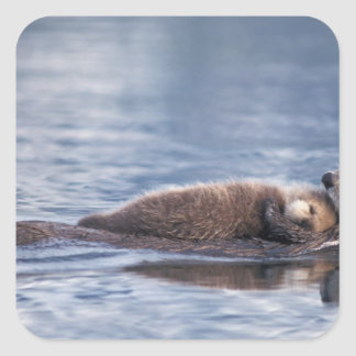 sea otter, Enhydra lutris lutris, mother with 2 Square Sticker