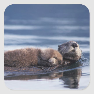 sea otter, Enhydra lutris lutris, mother with Square Sticker