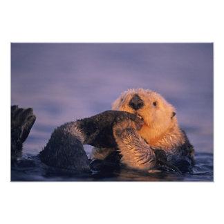 Sea Otter, Enhydra lutris Photo Print