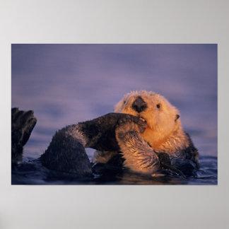 Sea Otter, Enhydra lutris Poster