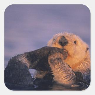 Sea Otter, Enhydra lutris Square Sticker