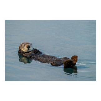 Sea otter floating on back in ocean poster