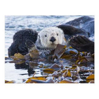 Sea otter wrapped in kelp postcard