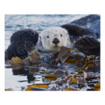 Sea otter wrapped in kelp poster