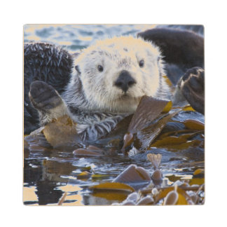 Sea otter wrapped in kelp wooden coaster