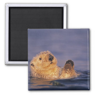 Sea Otters, Enhydra lutris 2 2 Inch Square Magnet