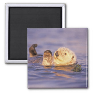 Sea Otters, Enhydra lutris 2 Inch Square Magnet