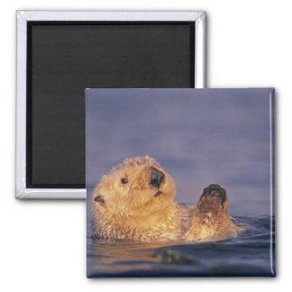 Sea Otters, Enhydra lutris 2 Magnet