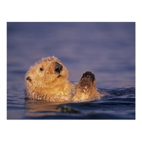 Sea Otters, Enhydra lutris 2 Postcard