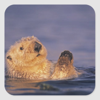 Sea Otters, Enhydra lutris 2 Square Sticker