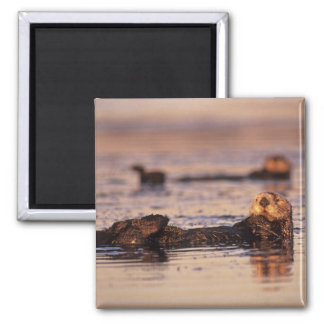 Sea Otters, Enhydra lutris 3 2 Inch Square Magnet