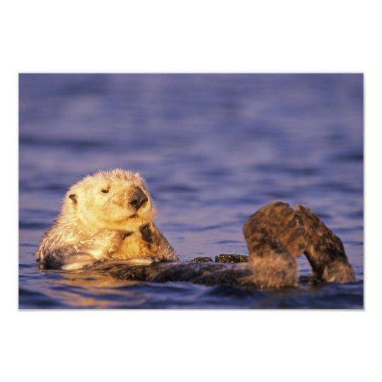 Sea Otters, Enhydra lutris 3 Photo Print