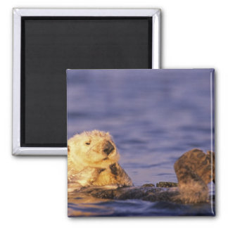 Sea Otters, Enhydra lutris 4 2 Inch Square Magnet