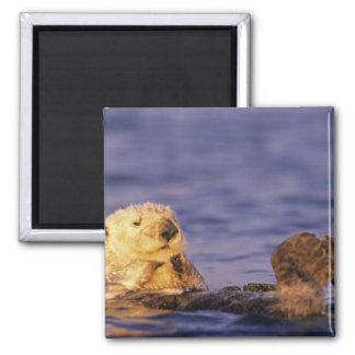 Sea Otters, Enhydra lutris 4 Magnet