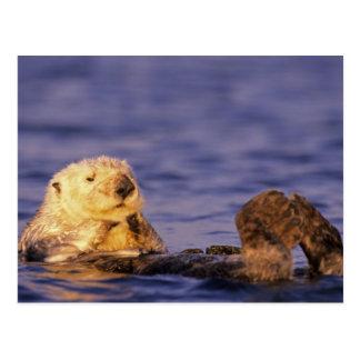 Sea Otters, Enhydra lutris 4 Postcard