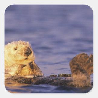 Sea Otters, Enhydra lutris 4 Square Sticker