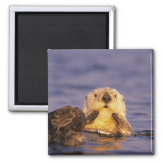Sea Otters, Enhydra lutris 5 2 Inch Square Magnet