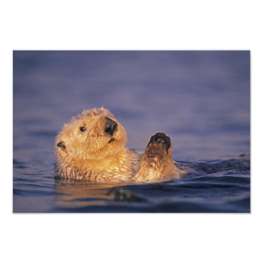 Sea Otters, Enhydra lutris 5 Photo Print