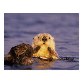 Sea Otters, Enhydra lutris 5 Postcard