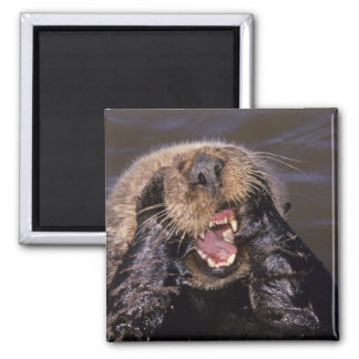 Sea Otters, Enhydra lutris 6 2 Inch Square Magnet