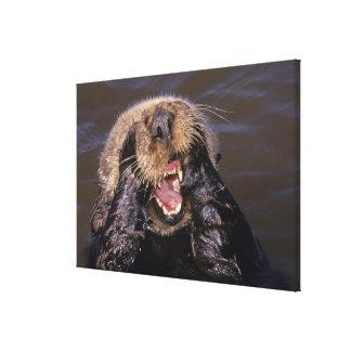 Sea Otters, Enhydra lutris 6 Canvas Print