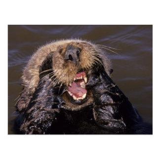 Sea Otters, Enhydra lutris 6 Postcards