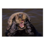 Sea Otters, Enhydra lutris 6 Poster