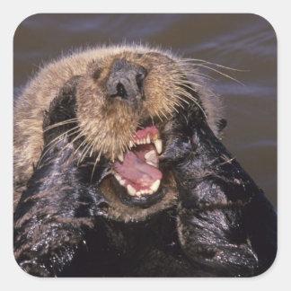 Sea Otters, Enhydra lutris 6 Square Sticker