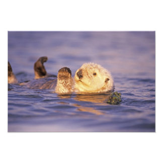Sea Otters, Enhydra lutris Photo Print