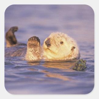Sea Otters, Enhydra lutris Square Sticker