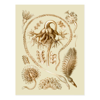 Sea Pens Postcard