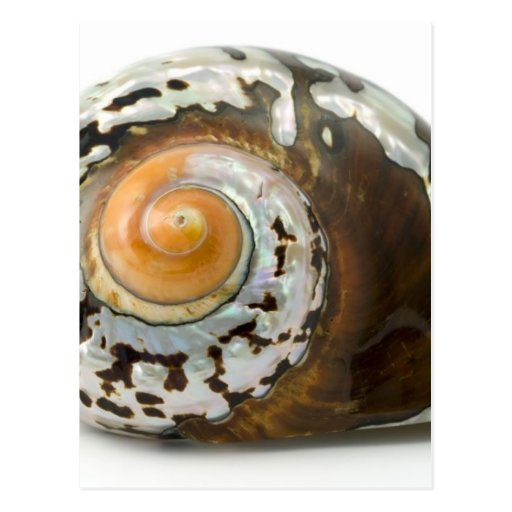 Sea Shell On White Background Post Card
