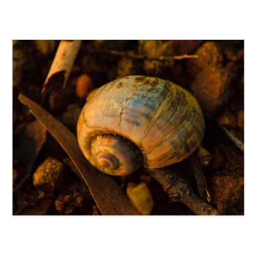 USA Themed Sea Snail Shell on Rocky Shore Sunset Postcard