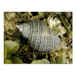 Sea Snail, Unalaska Island Postcard