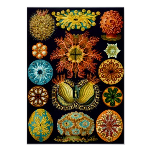 Sea Squirts, Ernst Haeckel Fine Art Poster