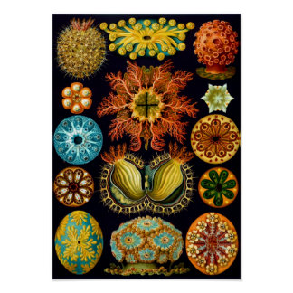 Sea Squirts, Ernst Haeckel Poster