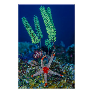 Sea Star and Tunicate Poster