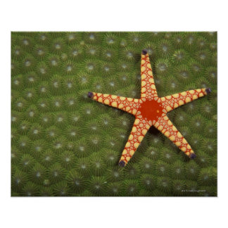 Sea star cleaning reefs by eating algae poster