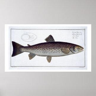 Sea Trout (Salmo Trutta) plate XXI from 'Ichthyolo Poster