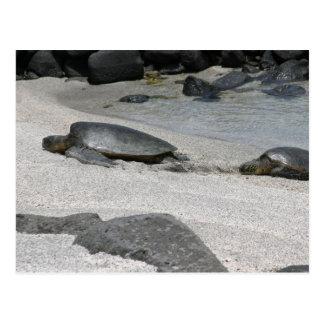 Sea Turtles in Kona, Hawaii Postcard