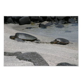 Sea Turtles in Kona, Hawaii Poster