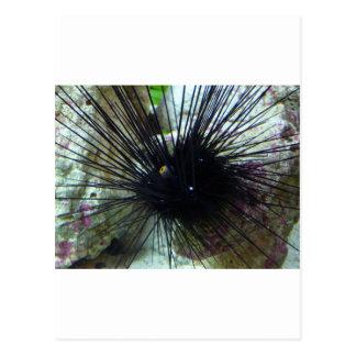 sea urchin postcard