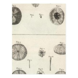 Sea Urchins Postcard
