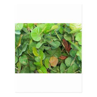 Seagrape green and brown closeup postcard