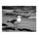 Seagull (Black and White) Post Cards