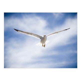 Seagull flying, Morocco Postcard